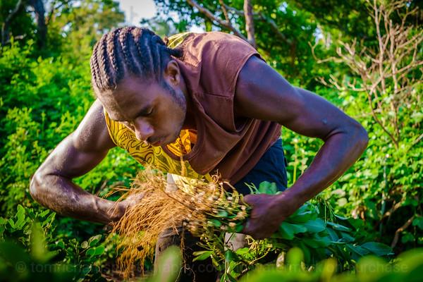Vanuatu, Tanna, Tanna Farms, Peanut Harvest, 2016 Feb, #12