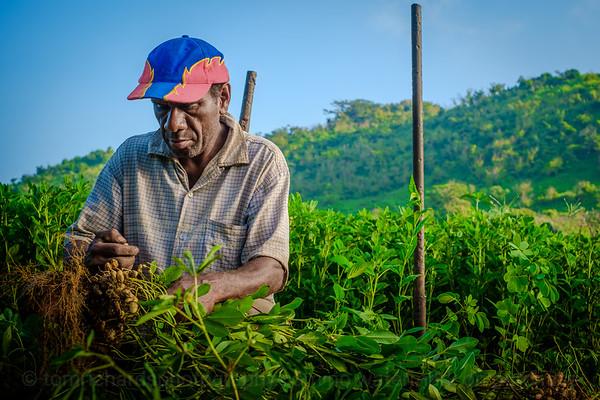 Vanuatu, Tanna, Tanna Farms, Peanut Harvest, 2016 Feb, #22