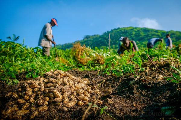 Vanuatu, Tanna, Tanna Farms, Peanut Harvest, 2016 Feb, #23