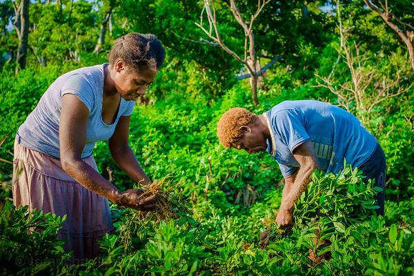 Vanuatu, Tanna, Tanna Farms, Peanut Harvest, 2016 Feb, #13