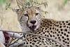Cheetah (10)
