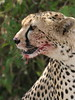 Cheetah (13)
