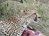 Cheetah (14)