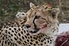 Cheetah (12)