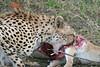 Cheetah (15)