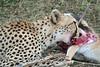 Cheetah (16)