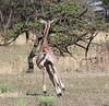 YoungGiraffe (1)