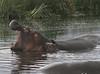 Hippos (15)