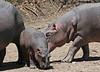 Hippos (21)