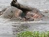 Hippos (14)