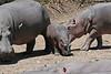 Hippos (22)
