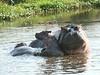 Hippos (11)