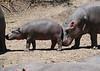 Hippos (3)