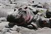 Hippos (16)