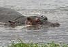 Hippos (13)