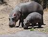 Hippos (5)