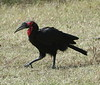 SouthernGroundHornbill