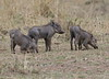 YoungWarthogs