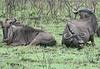 Wildebeest Kruger South Africa