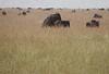 Making MORE Wildebeest Western Serengeti Migration