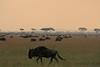 Wildebeast Western Serengeti Migration Tanzania