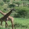 Graceful Giraffes Tarangire
