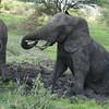 Elephant mud bath Tarangire