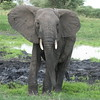 Young male elephant changing his mind Tarangire