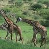 Beautiful Giraffes Tarangire