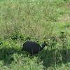 Helmetted Guineafowl Tarangire