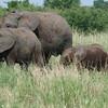 Young Elephants Tarangire