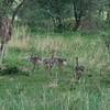 Ostrich and Babies Tarangire