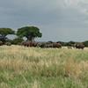 Large Elephant Herd and Baobab Trees Tarangire