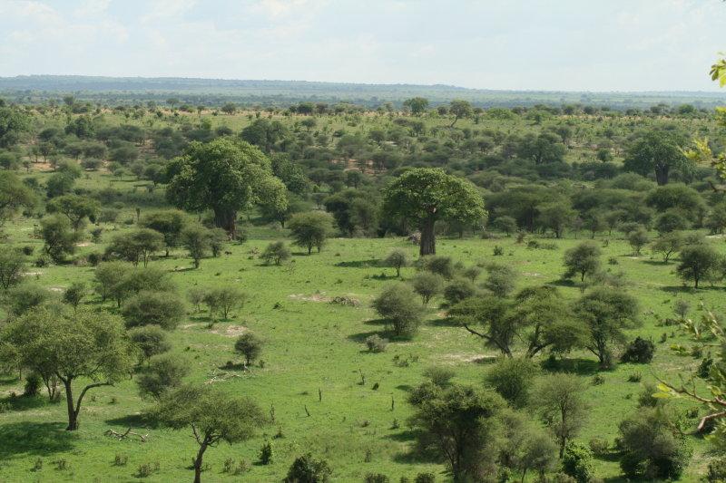 Tarangire panorama with baobob trees