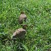 Crested Francolin (I think) Tarangire