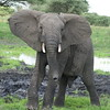 Young Male Elephant Ready to Scold Us Tarangire