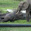 Elephant wallowing Tarangire