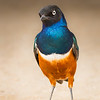Estornino soberbio / Superb starling