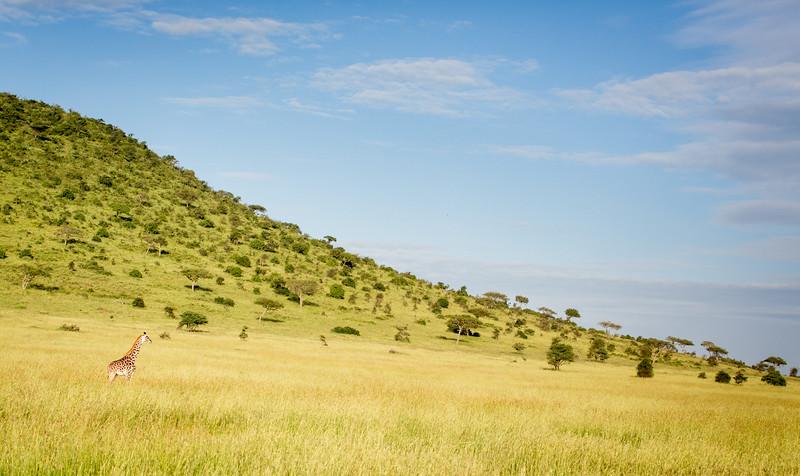 Serengeti, Tanzania: Maasai Giraffe
