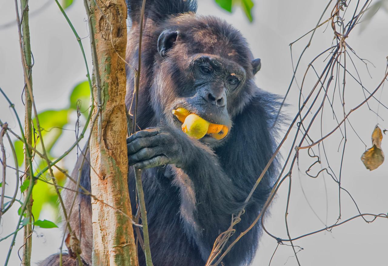 Chimp w mouthful of tamarinds