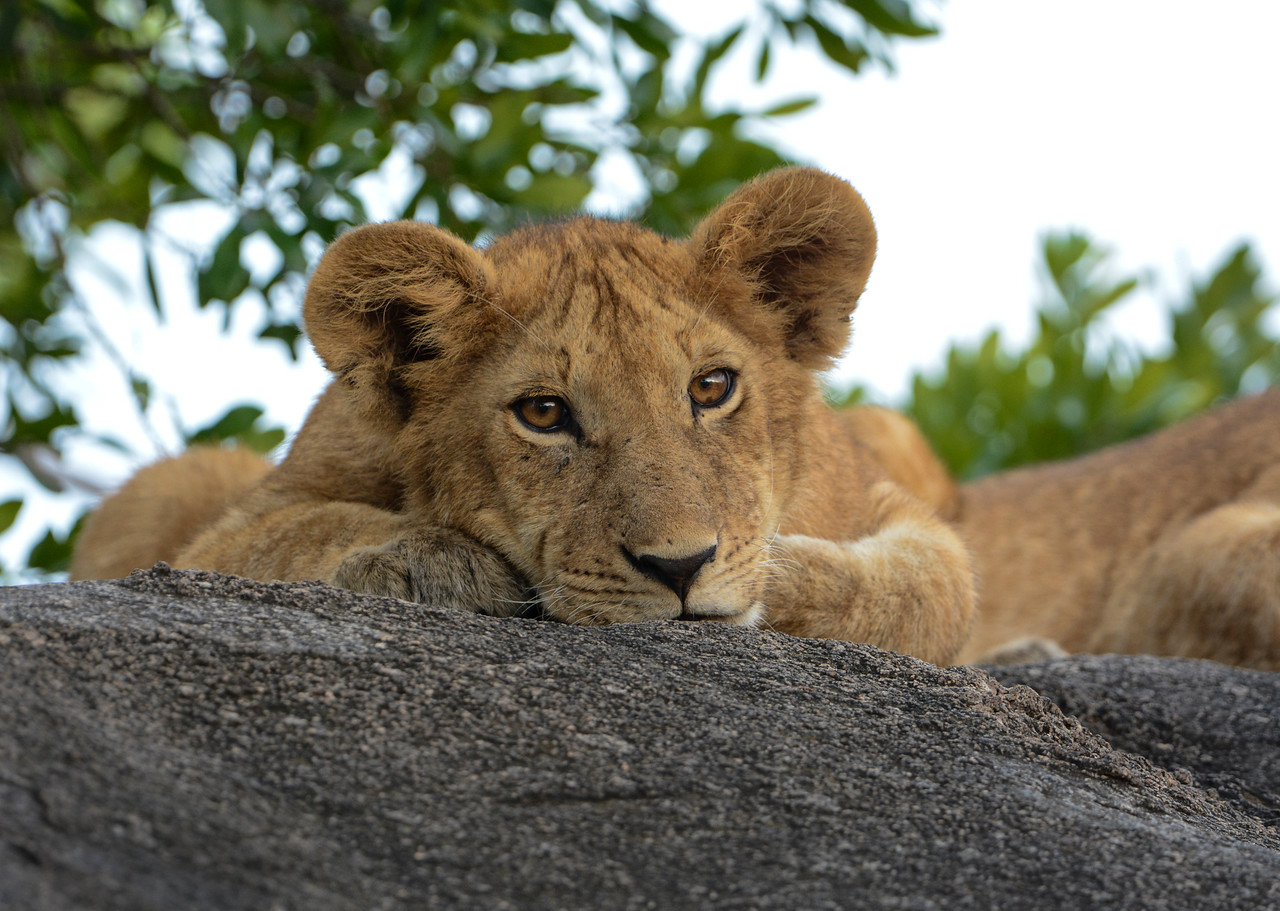 young lion looking at me-8673