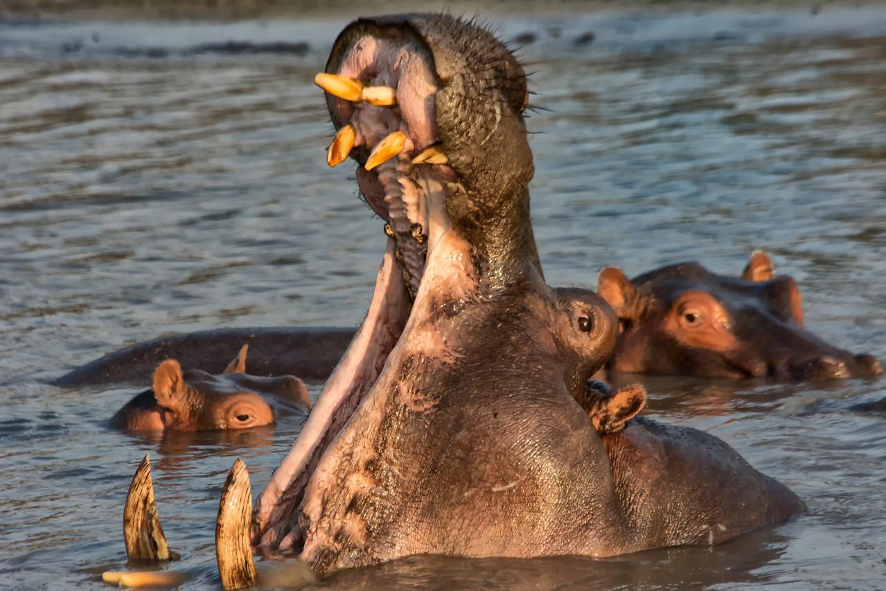 Huge Hippo Yawn