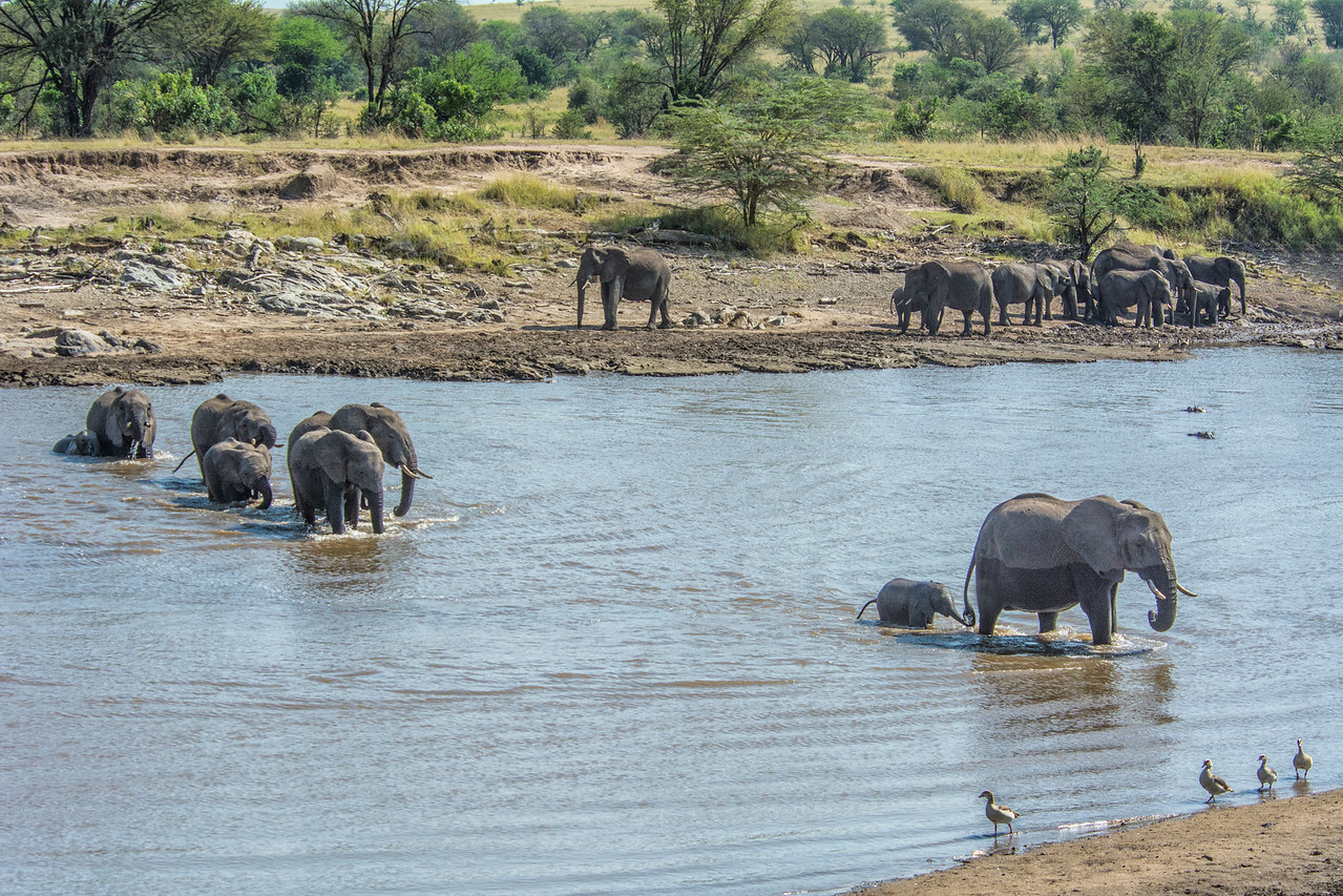 elephant family crossing Mara River