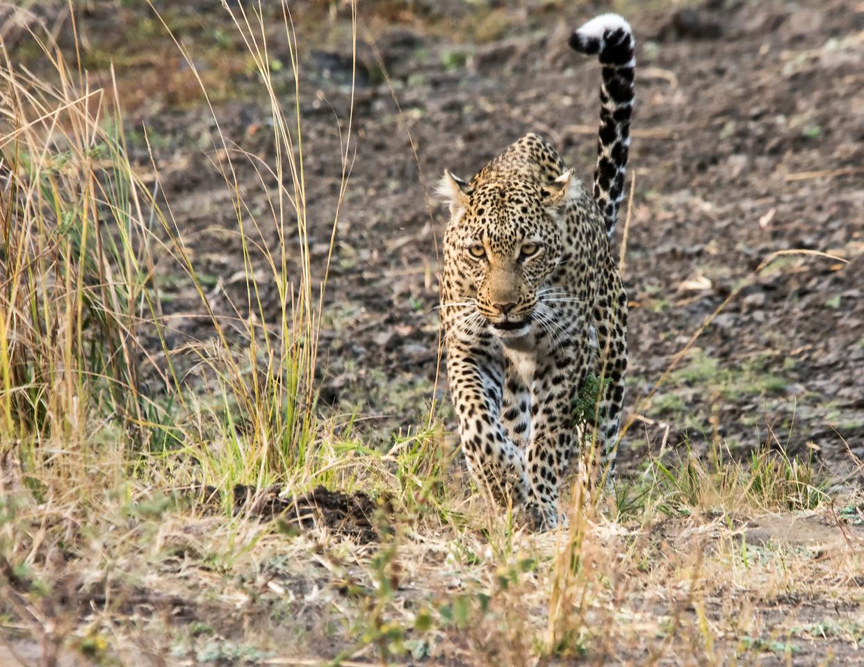 Leopard-Kitavi-2