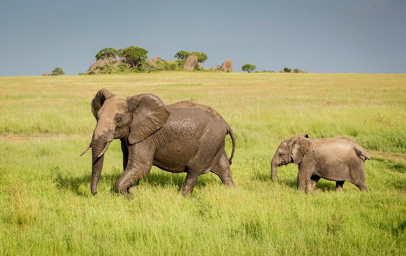 Serengeti, Tanzania: African Elephant