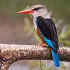 Alción cabeciblanco / Grey-headed Kingfisher