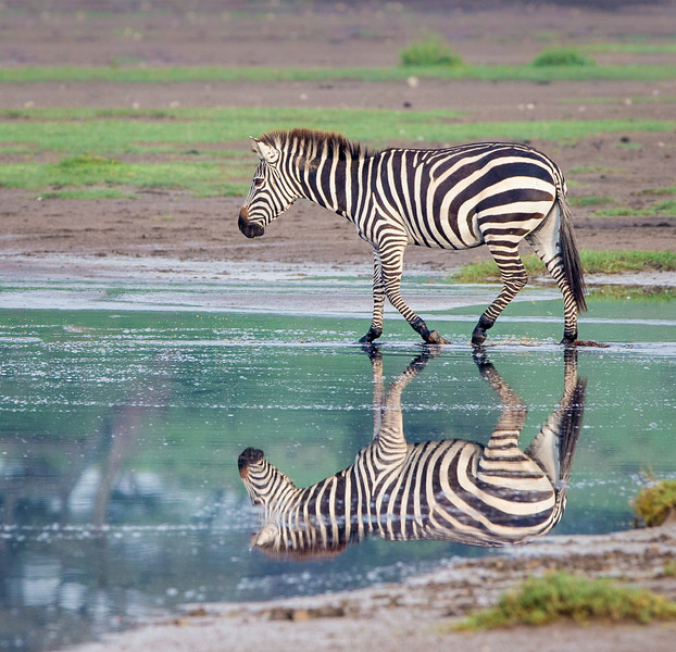 Lake Masek, Tanzania: Common Zebra