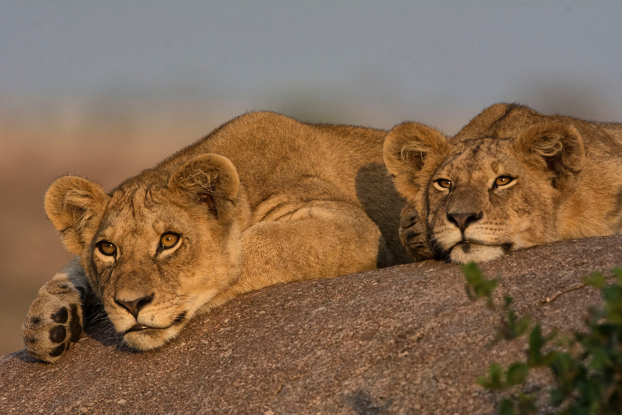 Two lions on a rock-sundown