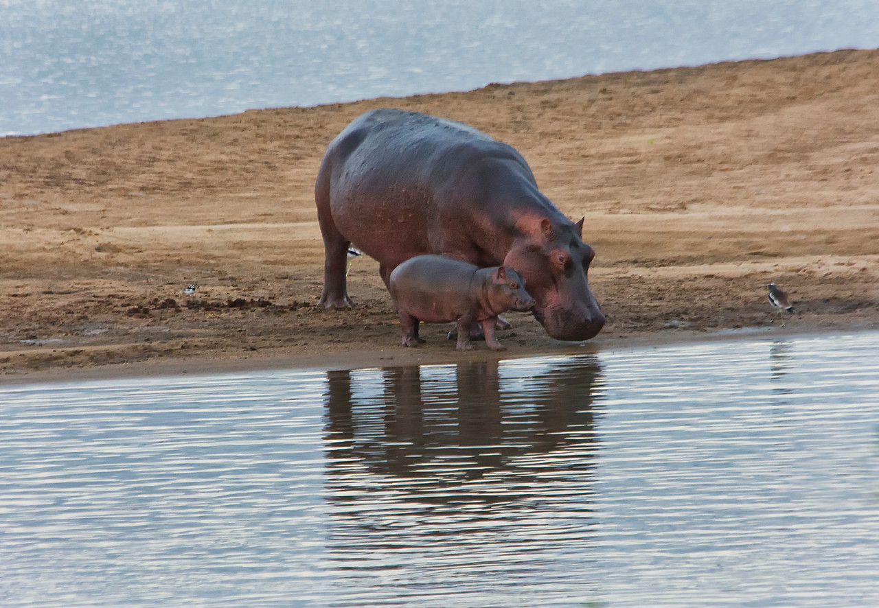 Hippo w baby enter river-7-27-14-Selous