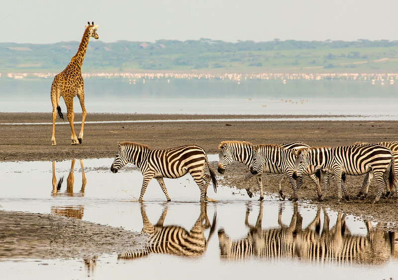 Lake Masek, Tanzania: Common Zebra and Maasai Giraffe